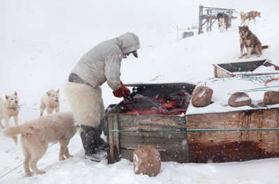 Documentary film, Subsistence Hunter Qillaq Avike Danielsen, next to his meat cave with walrus meat